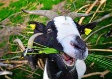 Cabra que come la hierba imágenes de archivo libres de regalías