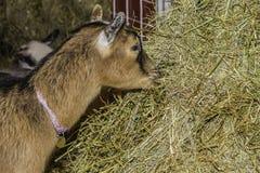 Cabra que come o feno Imagem de Stock