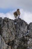 Cabra que equilibra na rocha Imagens de Stock