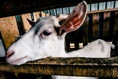 Cabra que espera para ser alimentación Fotografía de archivo libre de regalías