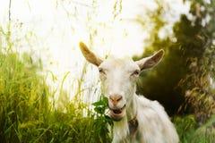 Cabra que mastiga a grama na natureza Fotos de Stock