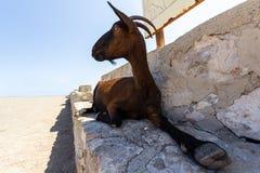 Cabra que miente en un banco de piedra, España de Brown Fotografía de archivo libre de regalías