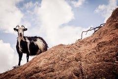 Cabra que mira abajo de un acantilado Fotos de archivo libres de regalías
