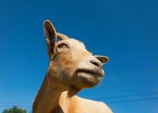 Cabra que mira fijamente en el cielo azul Imagenes de archivo