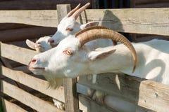 Cabra que mira furtivamente fuera de la pluma Foto de archivo libre de regalías