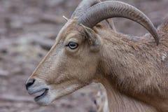 Cabra que mira a un lado el parque del osafari con los cuernos grandes Fotos de archivo libres de regalías