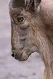 Cabra que mira a un lado el parque del safari Imágenes de archivo libres de regalías