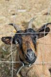 Cabra que olha através do fio da cerca Fotografia de Stock