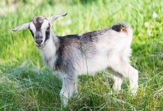 Cabra que pasta en el prado Foto de archivo