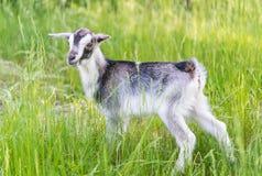 Cabra que pasta en el prado Imágenes de archivo libres de regalías