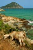 Cabra que pasta perto de uma praia rochosa no console de Thassos, Greece Foto de Stock