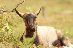 Cabra que se relaja en la hierba Foto de archivo libre de regalías