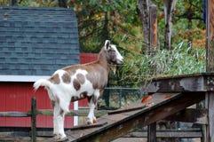 Cabra que sube Foto de archivo