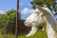Cabra rústica branca do leite Imagem de Stock Royalty Free