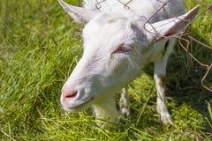 Cabra rústica branca do leite Fotografia de Stock Royalty Free