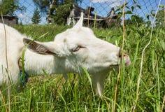 Cabra rústica branca do leite Fotos de Stock Royalty Free