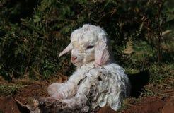 Cabra recém-nascida Foto de Stock Royalty Free