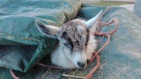 Cabra recém-nascida que encontra-se em uma toalha fotos de stock