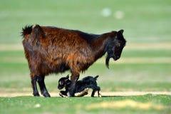 Cabra recém-nascida pequena do bebê no campo na mola Fotografia de Stock Royalty Free