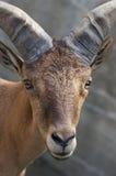 Cabra salvaje Imagenes de archivo