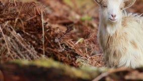 Cabra salvaje, billy, nannay, niño que forrajea, pastando en una cuesta rocosa en el parque nacional de Cairngorm, Escocia durant metrajes