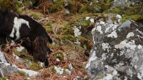 Cabra salvaje, billy, niñera, niño que forrajea, pastando en una cuesta rocosa en el parque nacional de Cairngorm, Escocia durant almacen de video