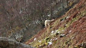 Cabra salvaje, billy, niñera, niño que forrajea, pastando en una cuesta rocosa en el parque nacional de Cairngorm, Escocia durant almacen de metraje de vídeo