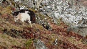 Cabra salvaje, billy, niñera, niño que forrajea, pastando en una cuesta rocosa en el parque nacional de Cairngorm, Escocia durant metrajes