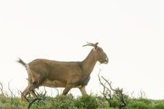Cabra salvaje contra el fondo blanco fotos de archivo