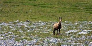 Cabra salvaje en el monte Olimpo Foto de archivo libre de regalías