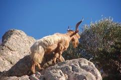 Cabra salvaje en la roca Imagenes de archivo