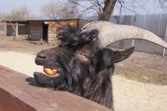 Cabra salvaje negra que come un pedazo de manzanas imagenes de archivo
