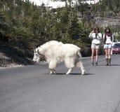 Cabra salvaje que cruza el camino Imagenes de archivo