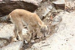 Cabra selvagem. Fotos de Stock