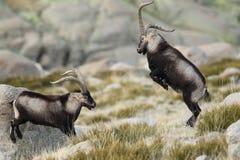 Cabra selvagem espanhola fotos de stock royalty free