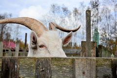 Cabra selvagem grande Fotografia de Stock