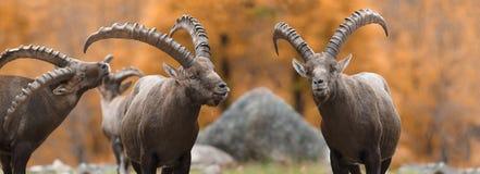Cabra selvagem na floresta imagem de stock royalty free