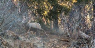 Cabra selvagem nas inclinações Foto de Stock Royalty Free