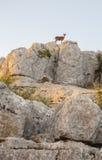 Cabra selvagem nas rochas de Torcal Foto de Stock Royalty Free