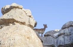 Cabra selvagem nas rochas de Torcal Imagem de Stock Royalty Free