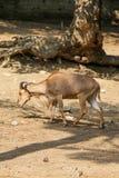 Cabra selvagem que anda no solo fotos de stock royalty free