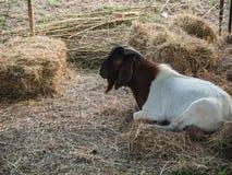 A cabra senta-se apenas na exploração agrícola Fotografia de Stock Royalty Free