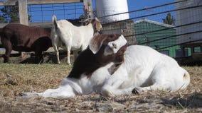 Cabra soñolienta en el sol