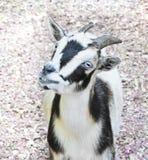 Cabra sonriente con los ojos azules Fotos de archivo libres de regalías