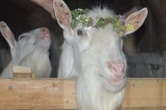 Cabra suiza en una guirnalda Foto de archivo libre de regalías