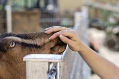 A cabra toca na mão do ` s da menina em uma exploração agrícola foto de stock royalty free