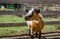 Cabra tricolora en granja Imágenes de archivo libres de regalías