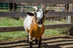 Cabra tricolora en granja Imagen de archivo