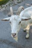 Cabra urious del ¡de Ð que le pregunta Fotografía de archivo libre de regalías