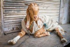 Cabra vestida divertida, en la India Imagenes de archivo